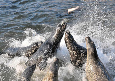 Common Seals & Harbor Seals